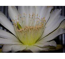 Cactus flower up close Photographic Print