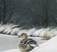 Wild duck Mallard by Philip Holley