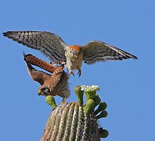 Move Over Please: American Kestrels by tomryan