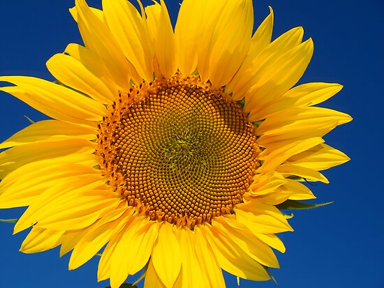 Sunflower by Kathy Weaver