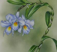 Blue dendrobium orchid by Philip Holley