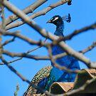 Peacock by Kallian