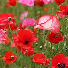 Poppy Patch by aussiedi
