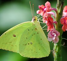 Cloudless Sulphur by Donna Adamski