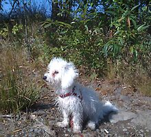 Bichon in the Fairview Lake by MissJack