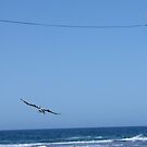 Pelican flying with full wing span by fontmedia