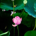 Pink lotus by fatalsweets