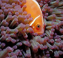anenome fish by David Leonard
