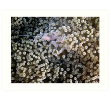 Clear Shrimp, Bikini Atoll, Marshall Islands Art Print