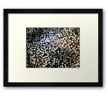 Clear Shrimp, Bikini Atoll, Marshall Islands Framed Print