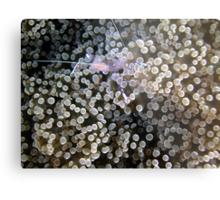Clear Shrimp, Bikini Atoll, Marshall Islands Metal Print