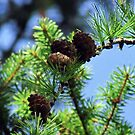 Pinecones by Kallian