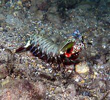 Mantis Shrimp, Eastern Indonesia by David Leonard