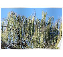 Willows Reaching To The Sky Poster