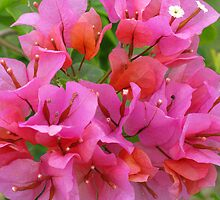 Pink Bougainvillea by Marilyn Harris