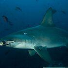 Hammerhead Shark, Cocos Island, Eastern Pacific by David Leonard