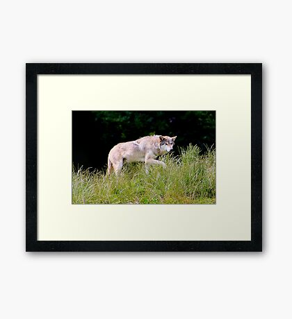 The Wolf..... Framed Print
