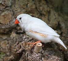 Finch (White) by jdmphotography