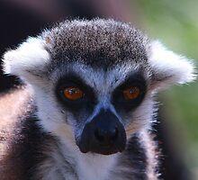 lemur by jdmphotography
