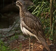 Bush Stone Curlew by rflower