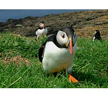 Puffin on a Mission Photographic Print