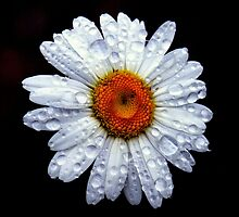 Rain Catcher Daisy by LjMaxx