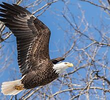 American Bald Eagle 2015-17 by Thomas Young