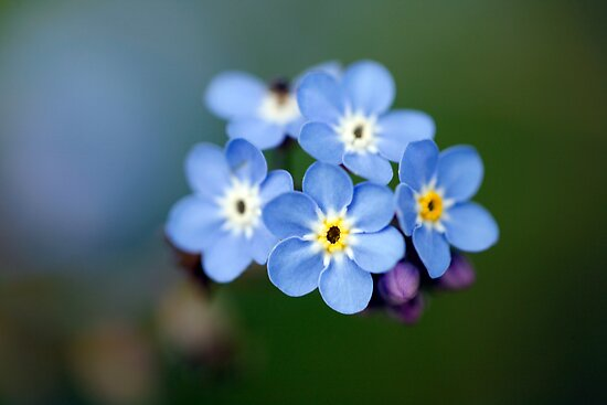 Forget Me Not  by Brian Haslam
