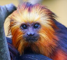 Baby golden-headed lion tamarin............. by jdmphotography