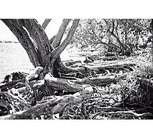Tangled Roots Photographic Print