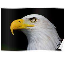 Eagle Portrait....... Poster