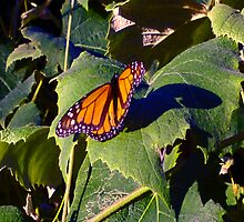 Monarch Butterfly on Grape Leaves by Candace Byington
