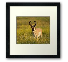 Pronghorn on the plains Framed Print