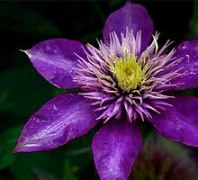 PURPLE CLEMATIS by Lori Deiter