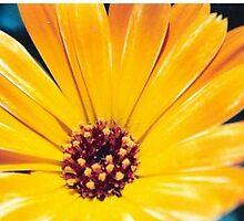 Calendula officinalis by Julie Sherlock