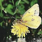 Yellow Wings by Pat Moore