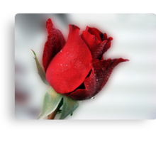 Red Rose Opening Canvas Print