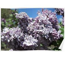 Pretty Lilac Flowers Poster