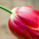 Tulip close up  by Stephanie Johnson