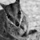 Rock Wallaby B&W by cmsdesign