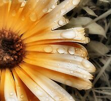 Raindrop Calendula by Duncan Waldron