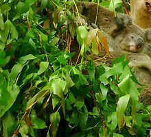 Koalas - Lets have a cuddle by Of Land & Ocean - Samantha Goode