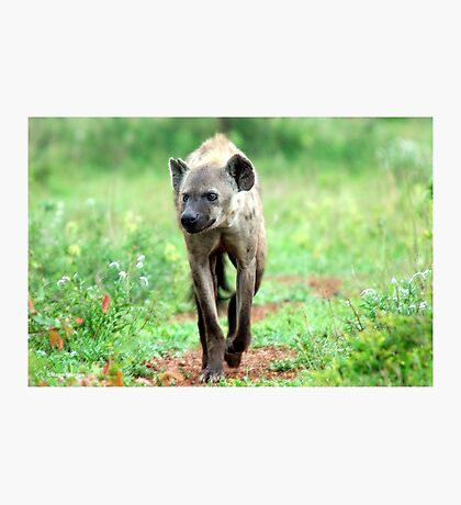 ON A MISSION STRAIGHT TO ME - *Spotted Hyaena - Crocuta crocuta* Photographic Print