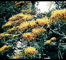 Silky Oak Tree Flowers At Thompson Square by Paul Evans