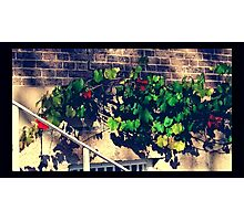 Ornamental Grape Vine At Thompson Square Photographic Print
