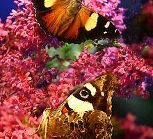 Merideth Butterflies by cradlemountain