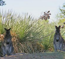 Kangaroos by R&PChristianDesign &Photography