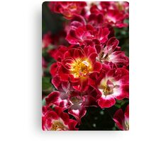 The Beauty Of Carpet Roses  Canvas Print