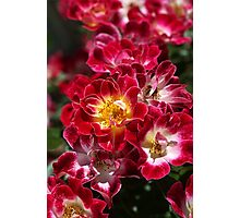 The Beauty Of Carpet Roses  Photographic Print