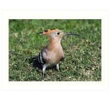 Styling Hoopoe Art Print